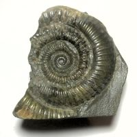 Fossil Ammonite (55mm)